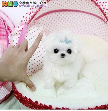 国际注册犬舍 出售极品赛级马尔济斯幼犬保终身送用品