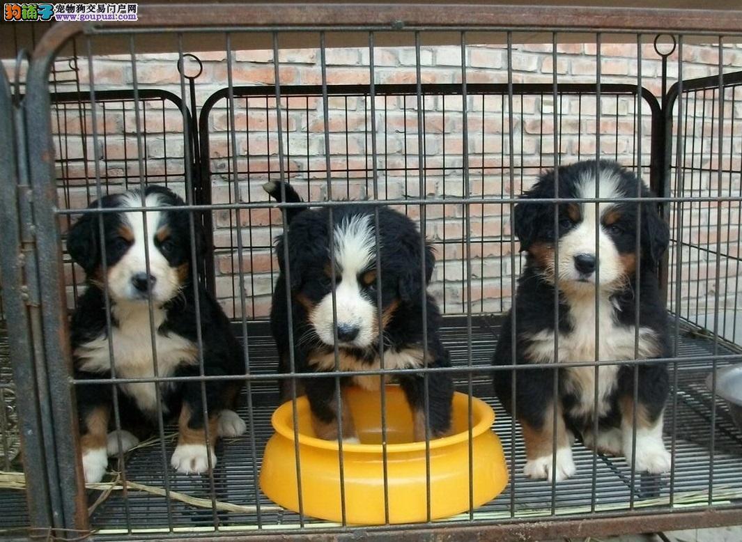出售纯种伯恩山犬瑞士国犬 高端伴侣犬 三个月包退换