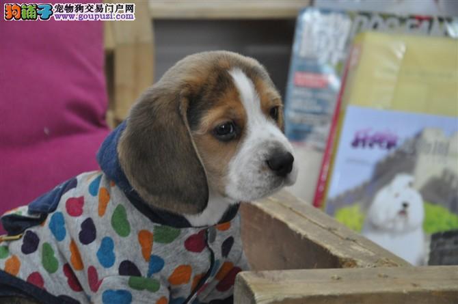 西城米兔比格犬哪里买 赛级优质比格犬猎犬专业繁育