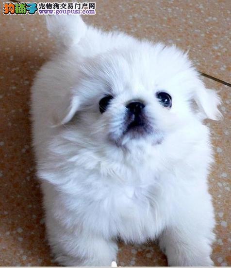 北京犬京巴犬幼犬武汉犬业专业繁育引领时尚