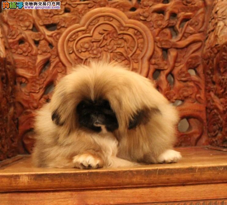 高品质赛级查理后代京巴幼犬实物拍摄带血统证书