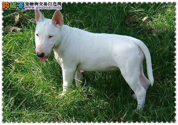 天津赛级品质牛头梗犬低价出售保健康纯种喜欢可视频挑