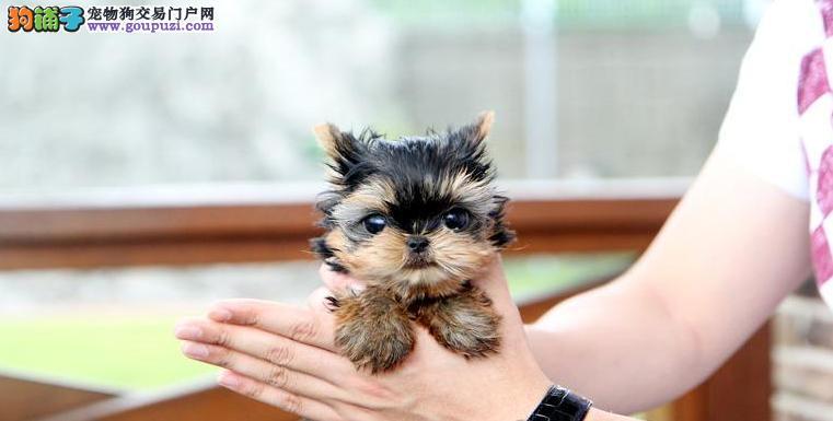 上海出售约克夏犬疫苗驱虫均已做完可签协议约克夏