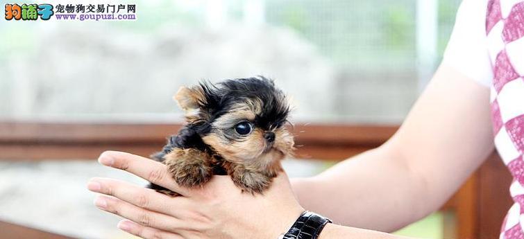 宁波高端 大气 上档次的贵妇犬 约克夏小宝贝们出售了