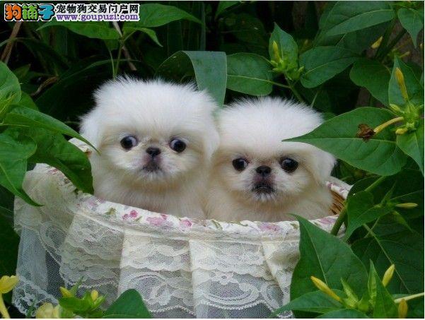 高品质京巴幼犬——实物拍摄