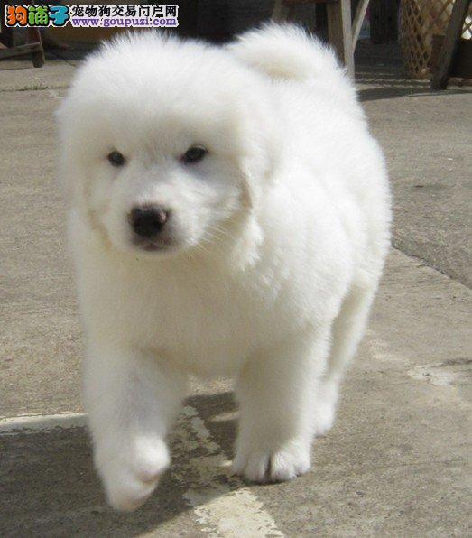 苏州顶级精品大白熊幼犬 保证纯血统品质