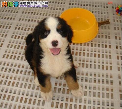 石家庄最大的伯恩山基地 完美售后微信咨询看狗狗照片