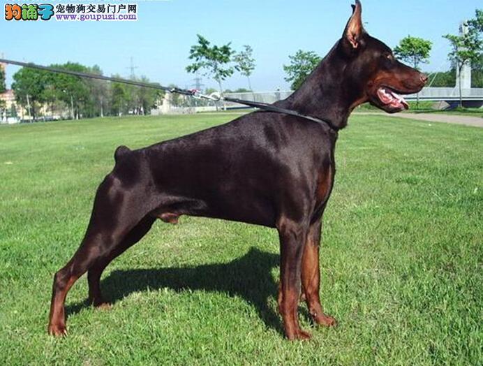 天津河东售小型杜宾宠物犬(公母都有)
