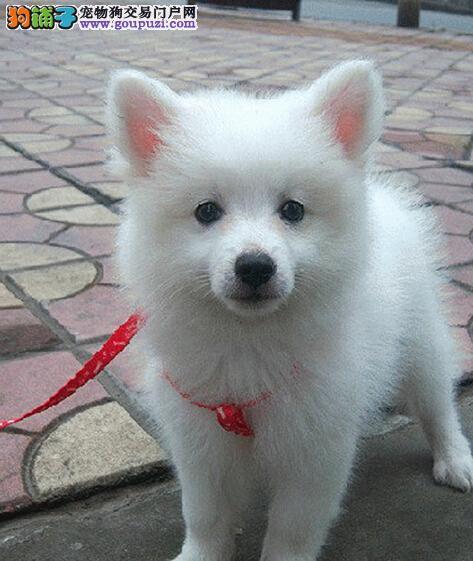 精品纯种沈阳银狐犬出售质量三包保障品质一流专业售后