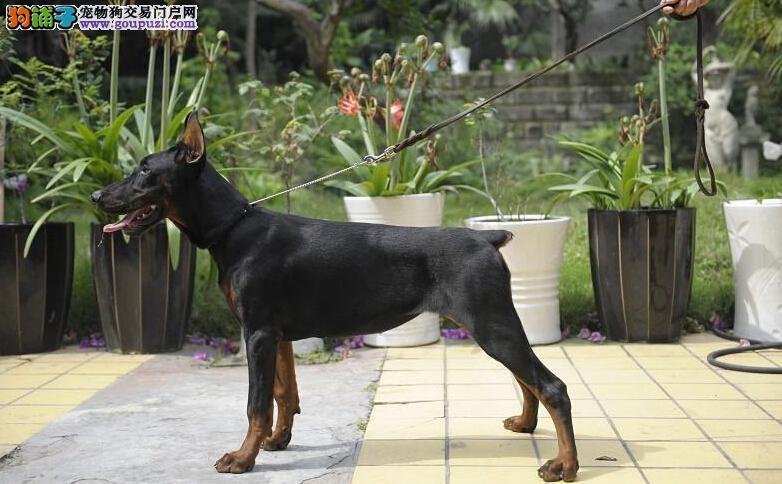德系杜宾犬公母幼犬。血统纯正,骨骼大