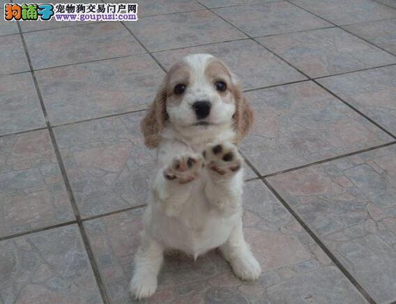家养极品可卡出售 可见父母颜色齐全微信咨询看狗狗视频1