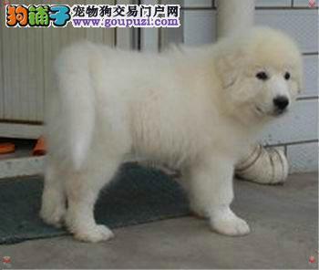 淮安出售颜色齐全身体健康大白熊狗贩子请绕行