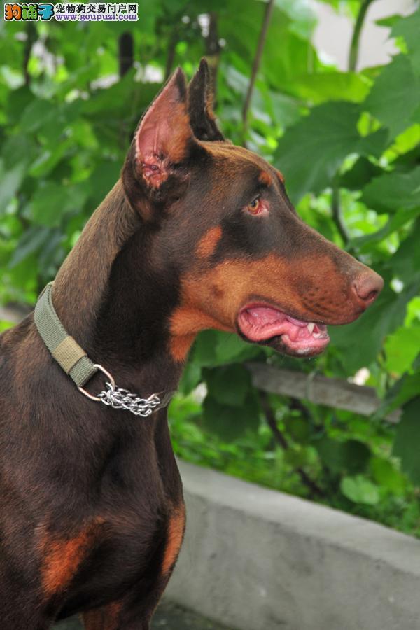 天津出售纯种杜宾犬幼犬 品相纯正 健康强壮 公母都有2