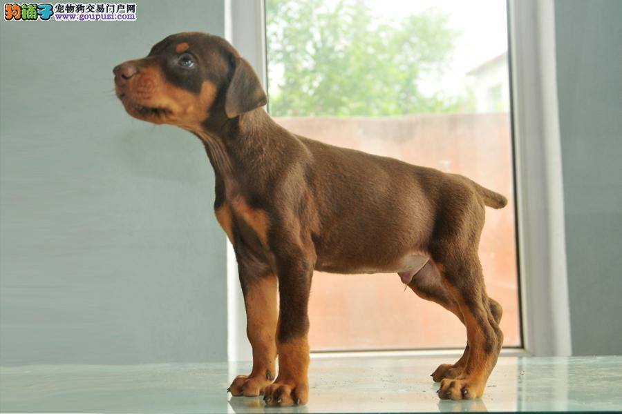 犬场出售纯种杜宾幼犬剪好耳朵断好尾巴