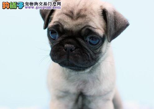 乖巧巴哥 幼犬愁眉苦脸巴哥 预防已做 健康纯种出售