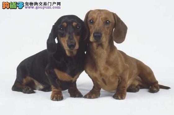 两个月的腊肠犬可以出门溜达么5