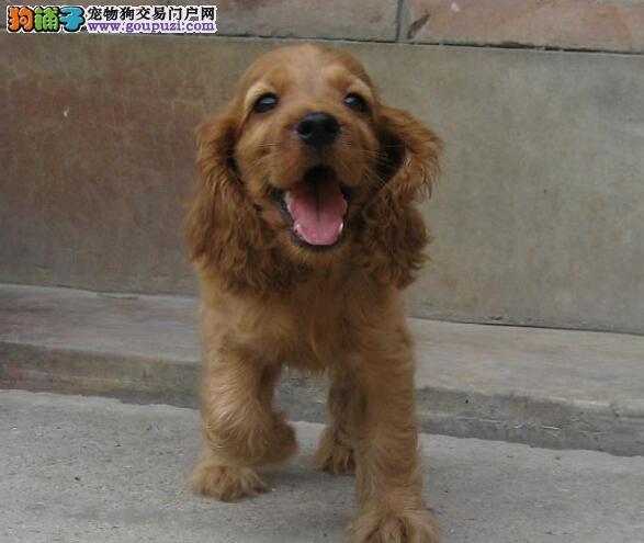 可卡郑州CKU认证犬舍自繁自销全国当天发货