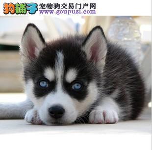 成都出售双蓝眼哈士奇幼犬西伯利亚雪橇犬上门挑选优惠
