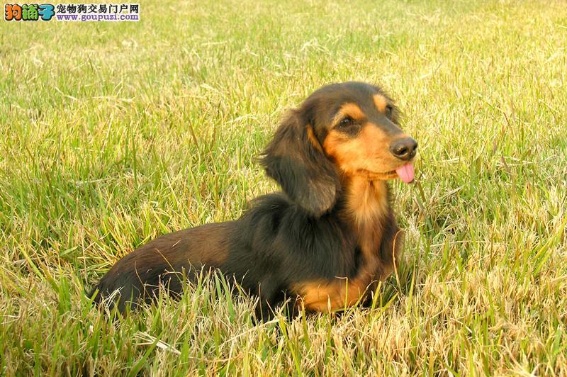 出售帅气十足的腊肠幼犬欢迎到狗场挑选2