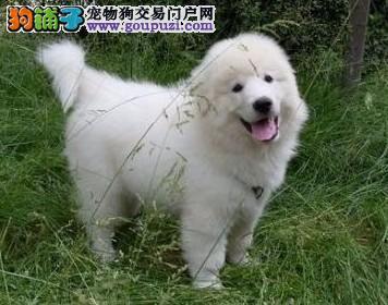 成都哪里有卖大白熊犬的 成都大白熊犬价格 多少钱4