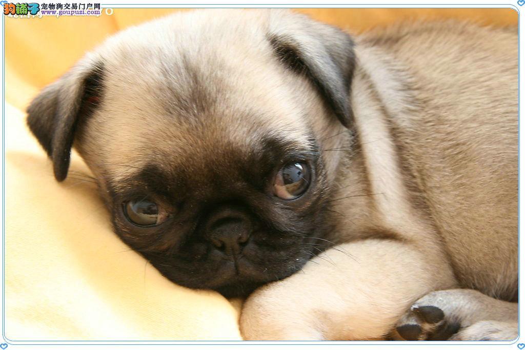 憨厚可爱巴哥幼犬出售 保纯保健康 疫苗齐全 协议质保