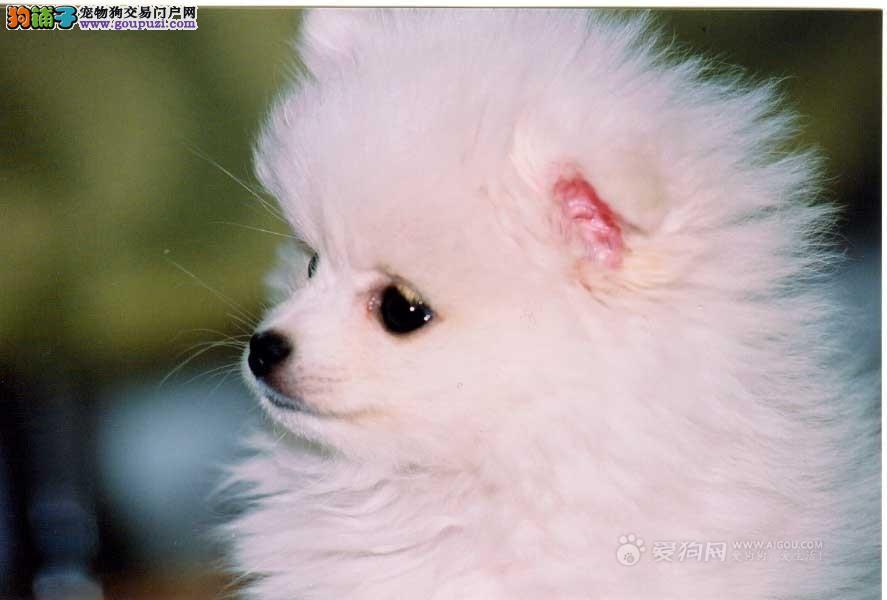 成都哪里有卖银狐犬的 成都银狐犬价格 多少钱一只