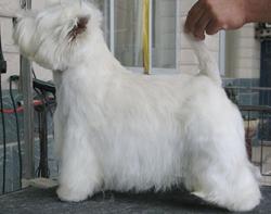 养殖场出售纯种西高地幼犬,健康保障!