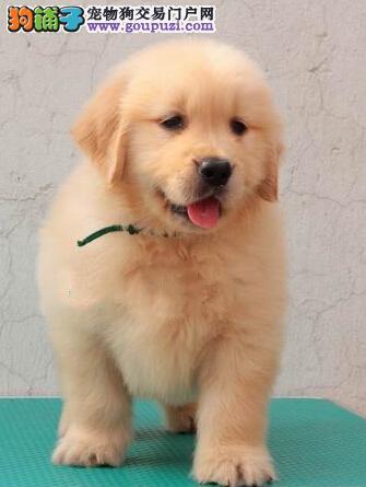 赛级品相遵义金毛幼犬低价出售CKU认证绝对信誉保障