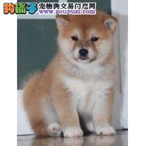 成都哪里出售纯种健康的柴犬成都纯种的柴犬什么价格2
