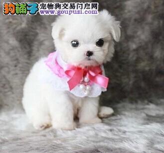 徐州高品质的马尔济斯幼犬出售了 疫苗做完 质量三包