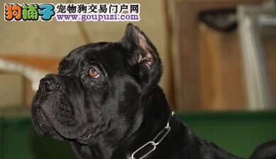 出售意大利护卫犬卡斯罗幼犬15条
