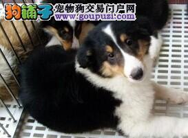 郑州聪明温顺的苏格兰牧羊犬繁育出售价格合理上门优惠