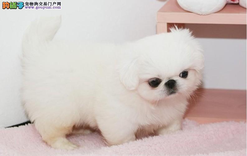 北京纯种宫廷京巴狗幼犬出售 保质保健康 有协议有保障