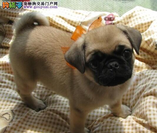 可爱的戆戆的巴哥幼犬宝宝 聪明可爱