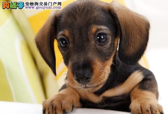 高质量繁殖基地出售腊肠犬幼犬 健康纯种 签售后协议