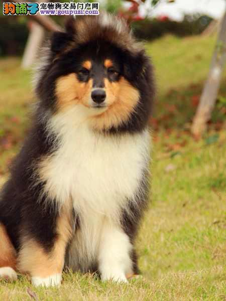 出售纯种苏格兰牧羊犬,保健康包纯种保成活1