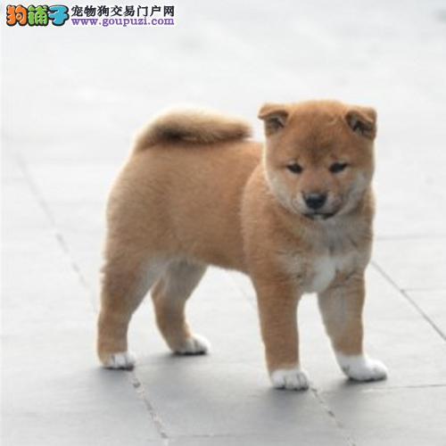 犬舍直销柴犬保证健康保证纯种欢迎上门订购