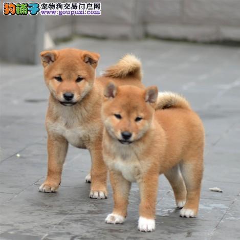 北京赛级日系柴犬出售 白脸体正 纯正血统