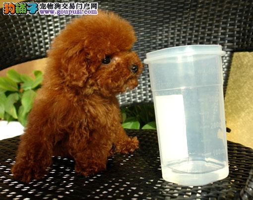 长沙纯种玩具体红泰迪犬宝宝公母都有可送上门挑选3