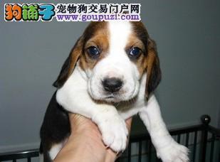 比格犬又称米格鲁宠物狗 售纯种比格犬 比格幼