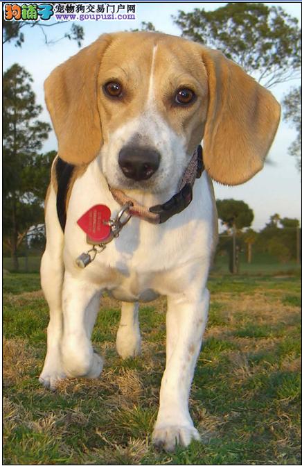正宗比格鲁犬 质量保证 杭州稀少品种、可包签健康协议
