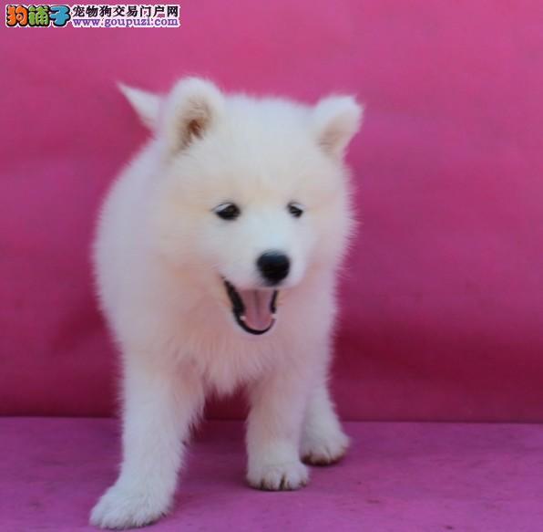 出售漂亮美丽银狐犬 包纯种支持上门挑选疫苗已做