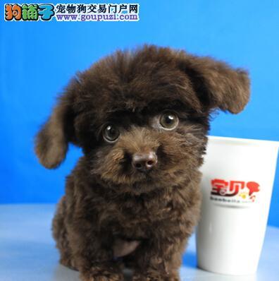 购买狗狗必看 不同体型泰迪犬的优缺点