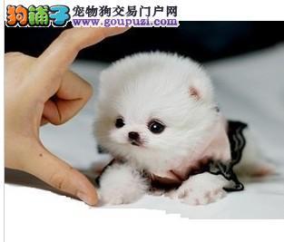 CKU犬舍认证出售高品质黔东南州茶杯犬黔东南州市内免费送货