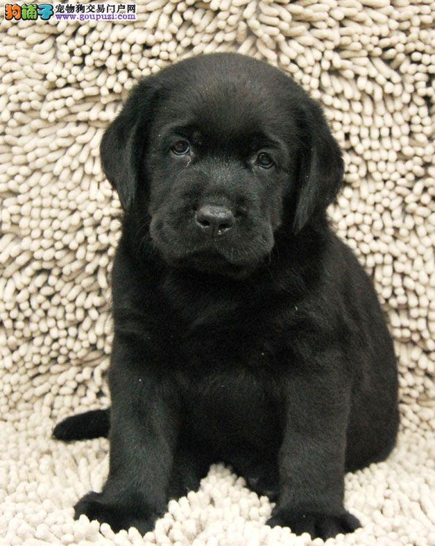 成都家养一窝拉布拉多导盲犬出售喜欢的朋友电话联系