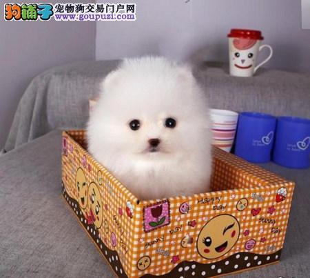 上海繁殖基地出售多种颜色的茶杯犬微信咨询看狗狗视频