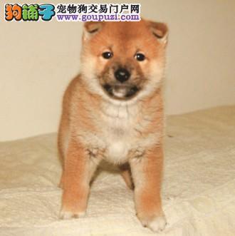 宁波出售精品日本柴犬纯种健康欢迎上门选购可视频挑选