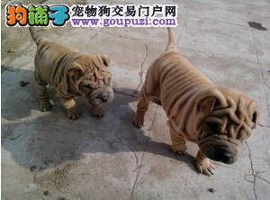 沙皮狗幼犬出售中,可办理血统证书,提供养狗指导