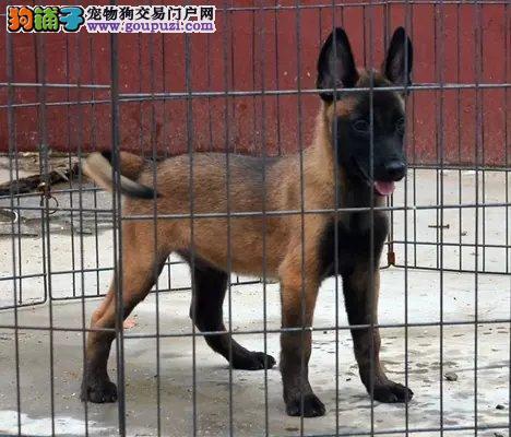 CKU犬舍认证出售高品质南宁马犬喜欢它的快来