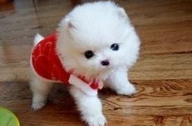 高品质茶杯犬幼犬、假一赔十质量保障、签订正规合同
